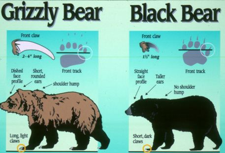 Grizzly Bear Identification Grizzly Bear Recovery Program