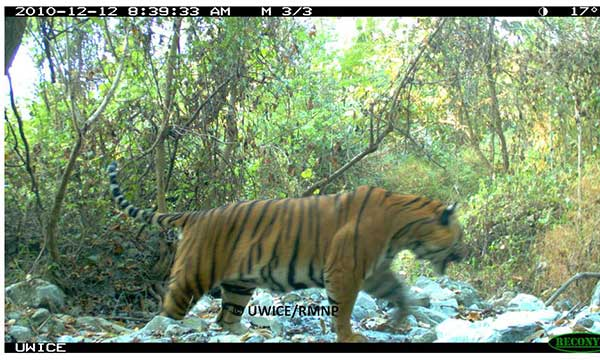 The Ecology of Tigers in the Intact Asian Landscapes of